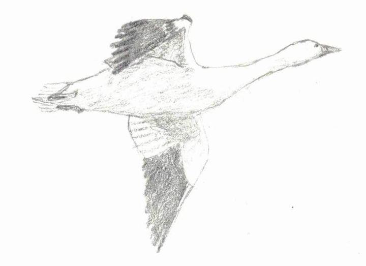 Snow Goose Sketch